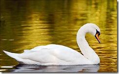 swan_gold