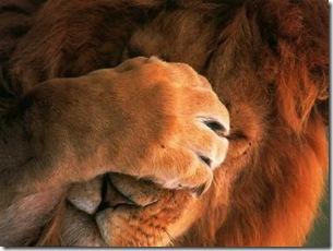 lionshame
