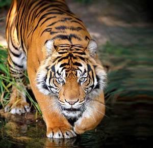 tigre_floresta